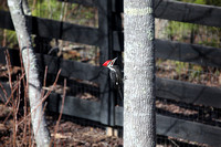 3.11.2011 Pileated Woodpecker